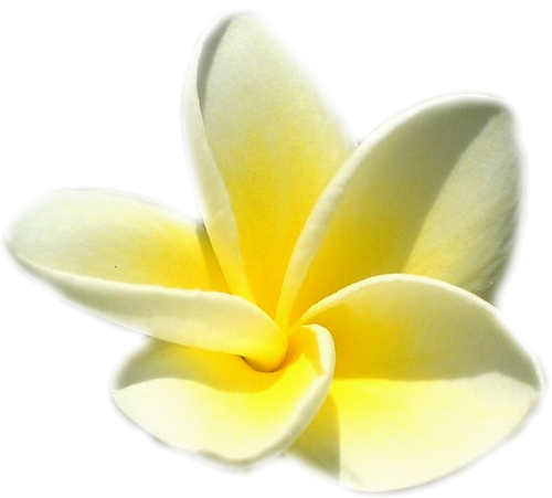 Tube Fleur De Frangipanier