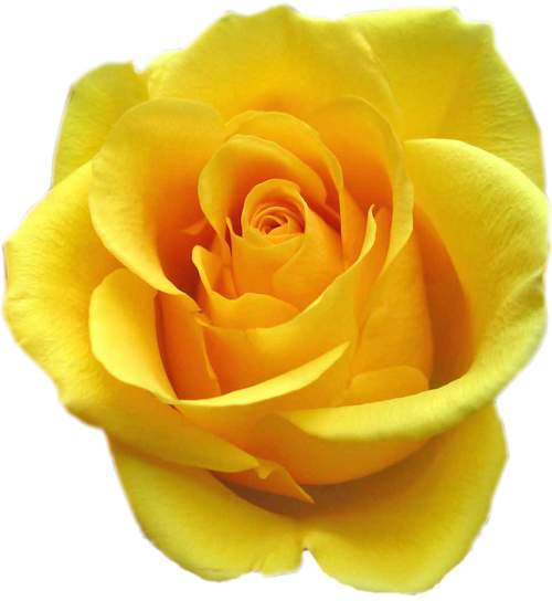 tube rose jaune
